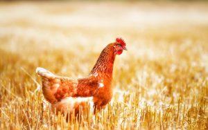 تعاونی کشاورزی ایالت آرکانزاس بلاک چین را برای حمل و نقل محموله های مرغ آزمایش کرد